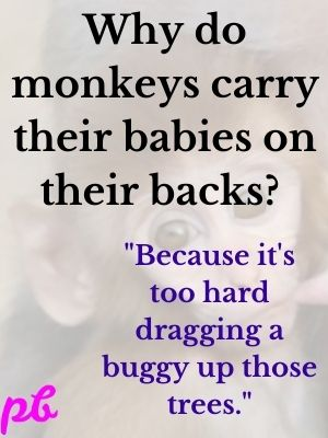 Why do monkeys carry their babies on their backs  Because it's too hard dragging a buggy up those trees.